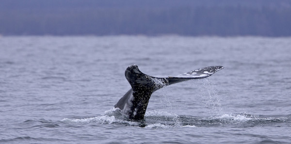 Whale Watching Packages @ Pacific Sands, Tofino BC
